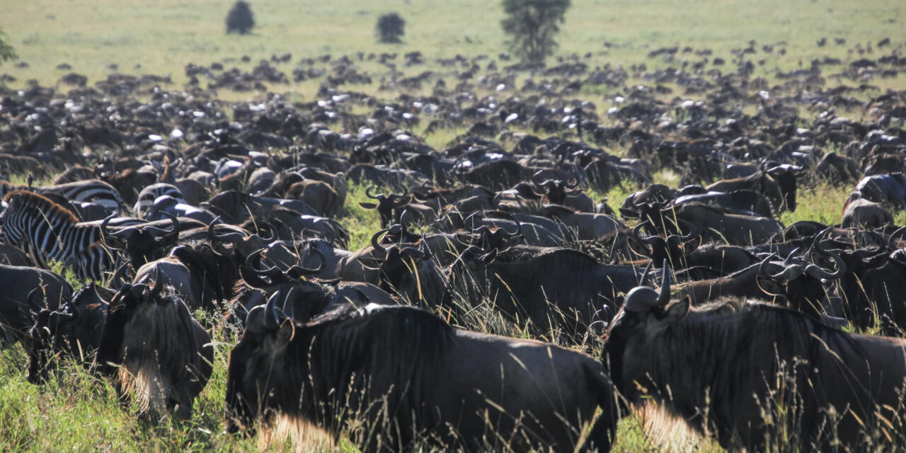 https://www.kilingeadventures.com/wp-content/uploads/2020/11/Wildebeest-Migration-Safari-1280x640.jpg
